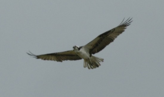 ospreyinflight