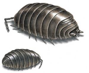 sowbug